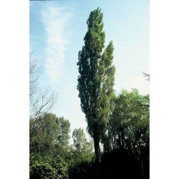 Zwarte populier - Populus nigra