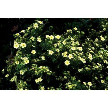 Ganzerik - Potentilla fruticosa Limelight