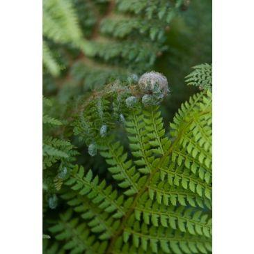 Naaldvaren - Polystichum setiferum Plumosa densum