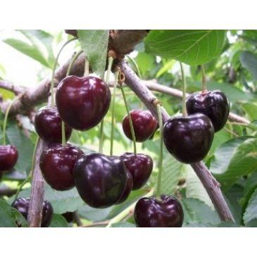 Kersenboom - Prunus a Kordia