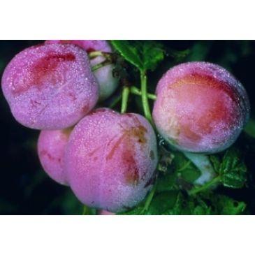Prunus 'Avalon'