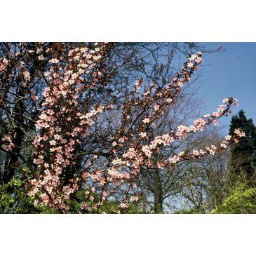 Rode kerpruim - Prunus cerasifera Nigra