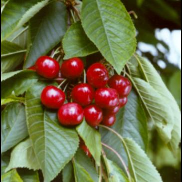 Prunus 'Castor'