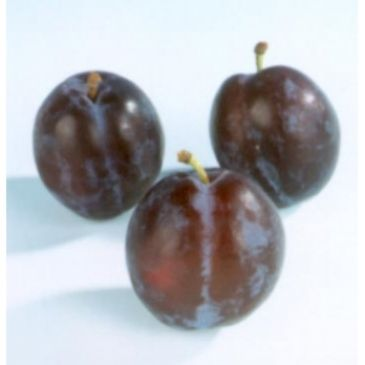 Pruim - Prunus d. 'The Czar'