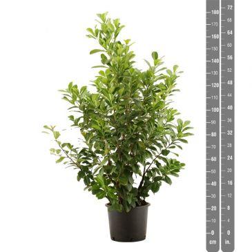 Prunus laurocerasus Etna