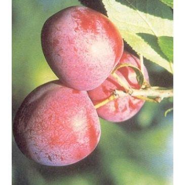 Prunus 'Excalibur'