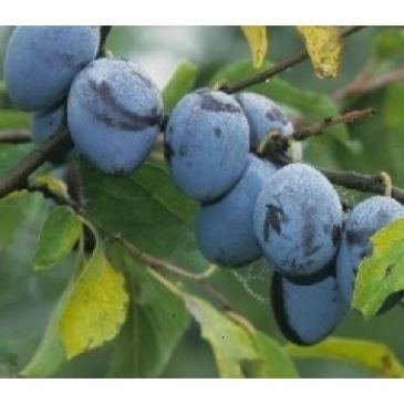Prunus 'Hauszwetsche'