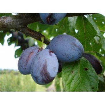 Prunus 'Italiaanse Kwets'