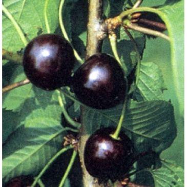 Prunus 'Karina'