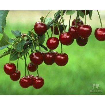 Prunus 'Kelleris 16'
