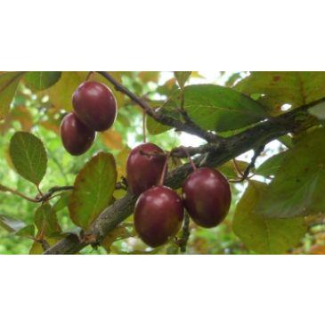 Prunus 'Kroos Pearl Beauty'