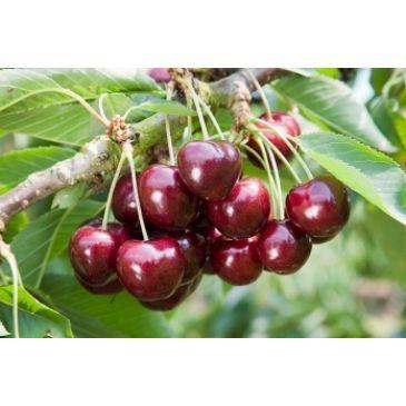 Prunus 'Lapins'
