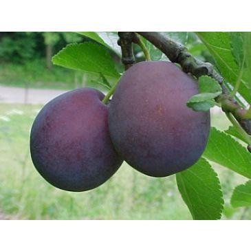 Prunus 'Monsieur Hatif'