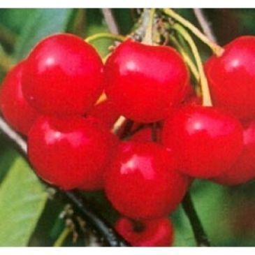 Prunus 'Morel'