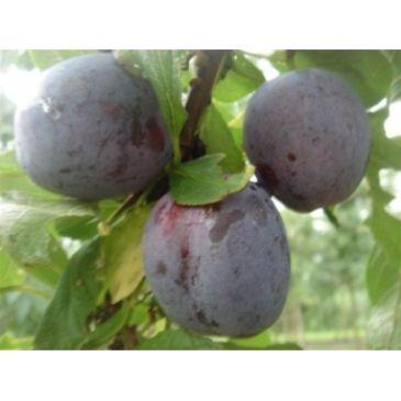 Prunus d Opal - Zoete pruim