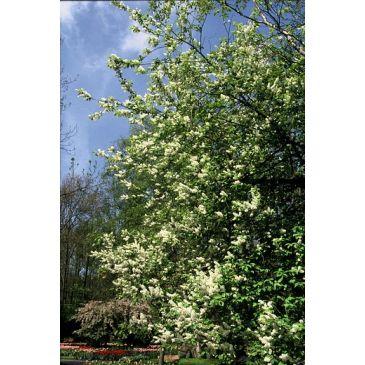 Prunus padus - Gewone vogelkers