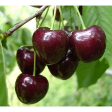 Prunus 'Pater van Mansfeld'