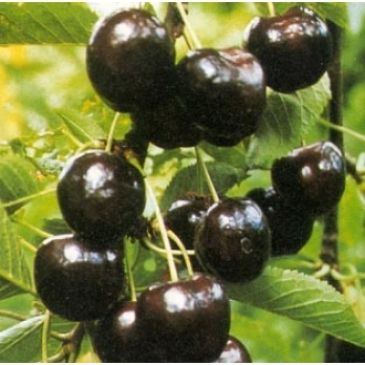 Kers - Prunus a Regina