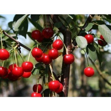 Kers - Prunus c. 'Rheinische Schattenmorelle'