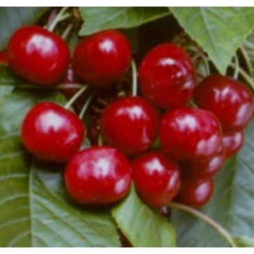 Kersenboom - Prunus a Stella