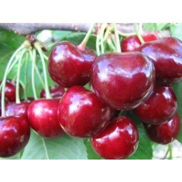 Prunus 'Sylvia'