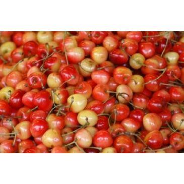 Prunus 'Udense Spaanse'