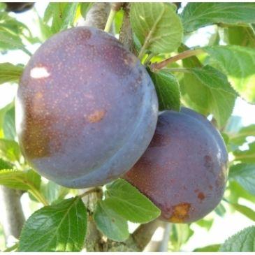 Prunus 'Valor'