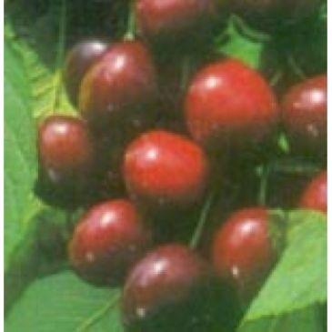 Prunus 'Vanda'