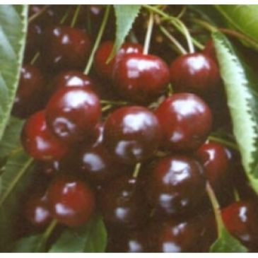 Prunus 'Varikse Zwarte'