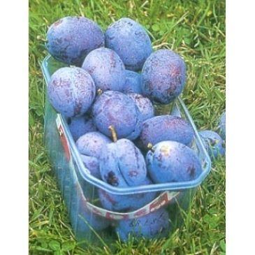 Prunus 'Voyageur'