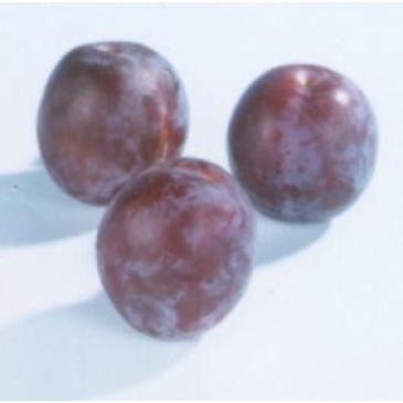 Prunus 'Vroege Tolse'