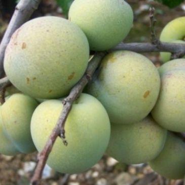 Prunus 'Washington'