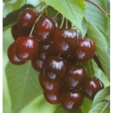 Prunus 'Wijnkers'