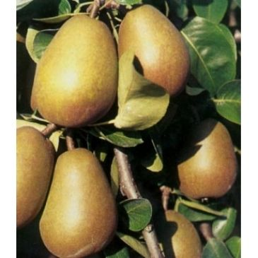 Pyrus 'Beurre Hardy'