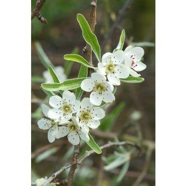 Treur sierpeer - Pyrus salicifolia pendula