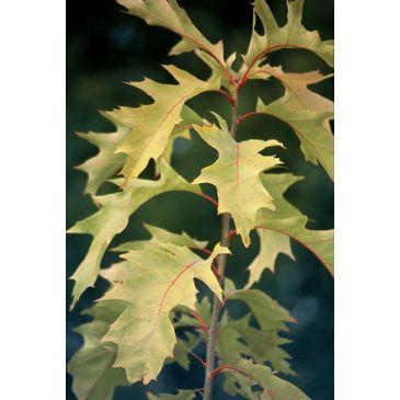 Amerikaanse eik - Quercus rubra