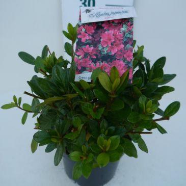 Azalea -Rhododendron Ageeth