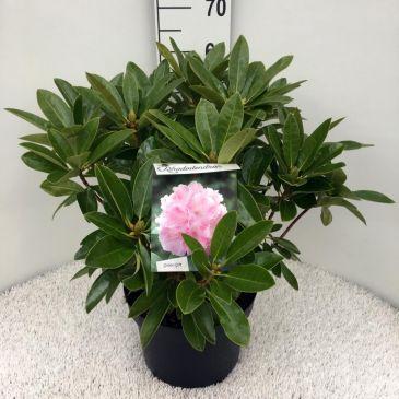 Rhododendron Albert Schweitzer