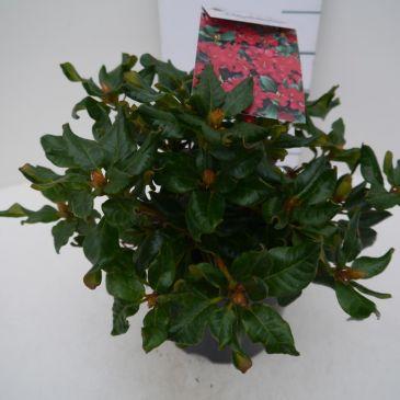 Dwergrhododendron - Rhododendron Baden Baden