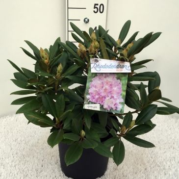 Rhododendron (y)Caroline Allbrook