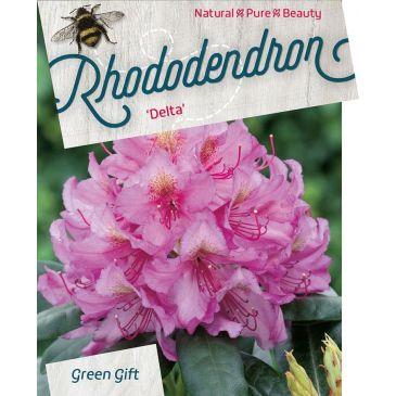 Rhododendron Delta