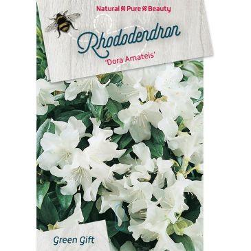 Dwergrhododendron - Rhododendron 'Dora Amateis'