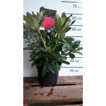 Rhododendron 'Nova Zembla' (rood)