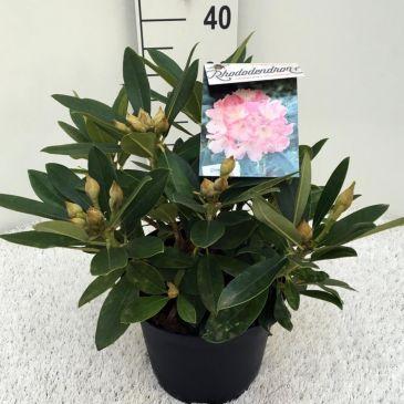 Rhododendron (y) Percy Wiseman
