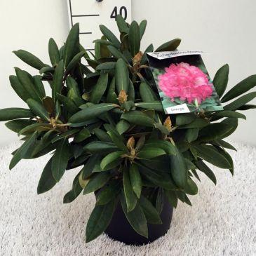 Rhododendron (y) Polaris