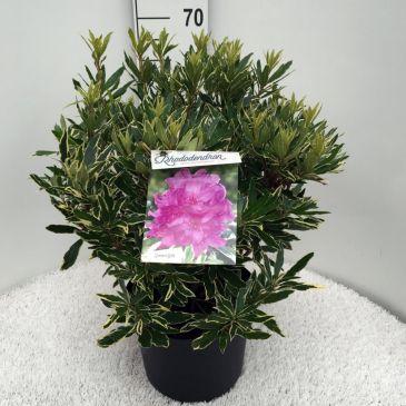 Rhododendron ponticum Variegatum