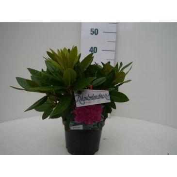 Rhododendron 'Rocket' (roze)