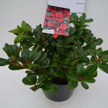 Dwergrhododendron - Rhododendron Scarlet Wonder
