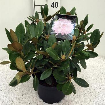Rhododendron (y) Silberwolke