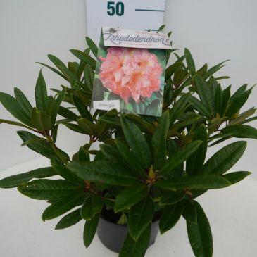 Rhododendron Tortoiseshell Orange